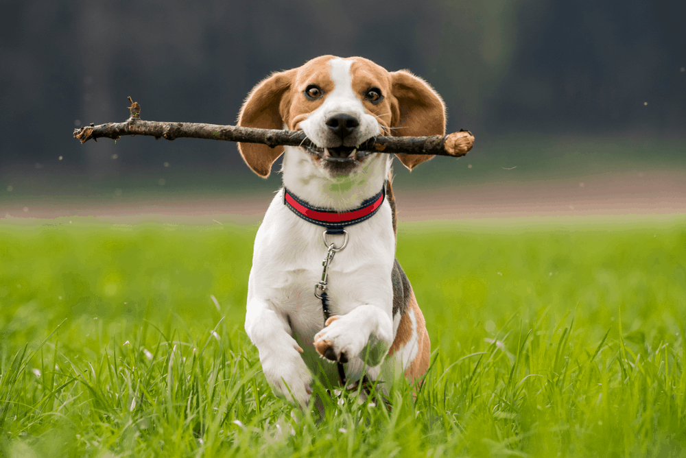 Beagle Training: How To Make A Good Dog Better -