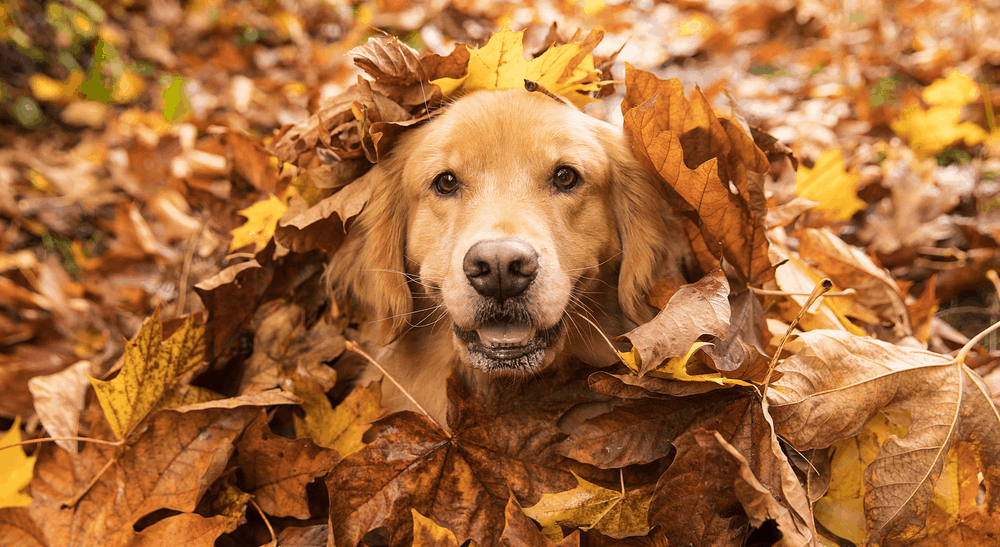 Golden Retriever Dog in a pile of Fall leaves        - Image