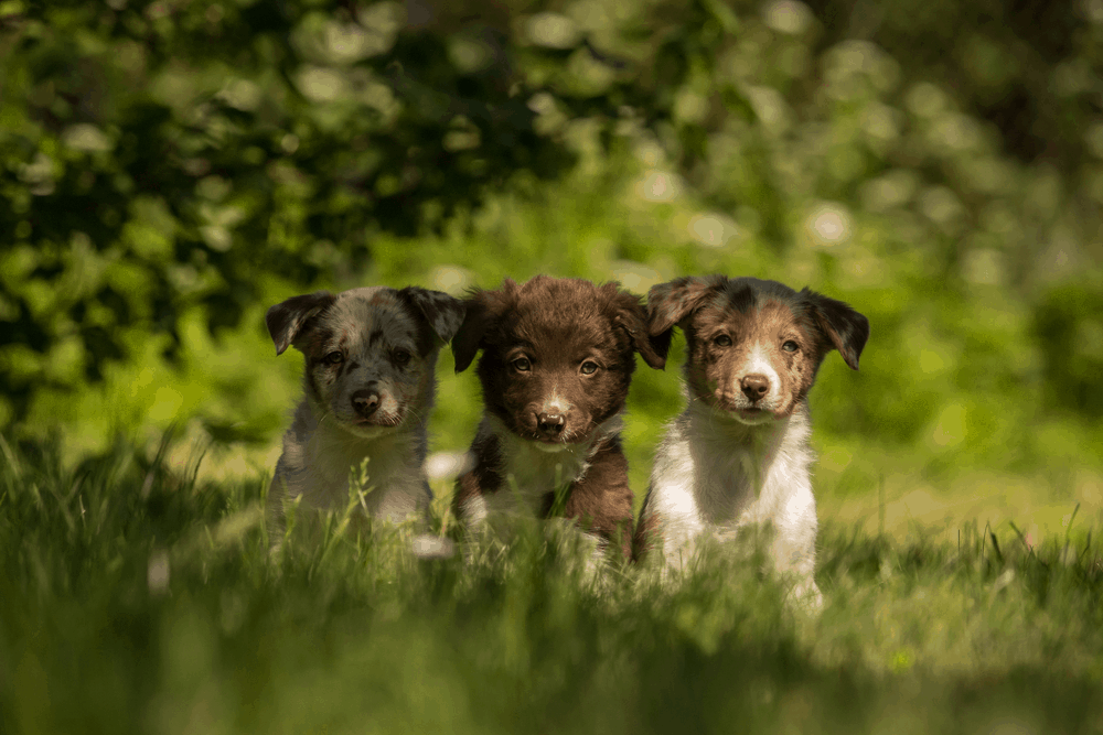 Border Collie Puppy Training - What Approach Should You Take? - border collie puppy