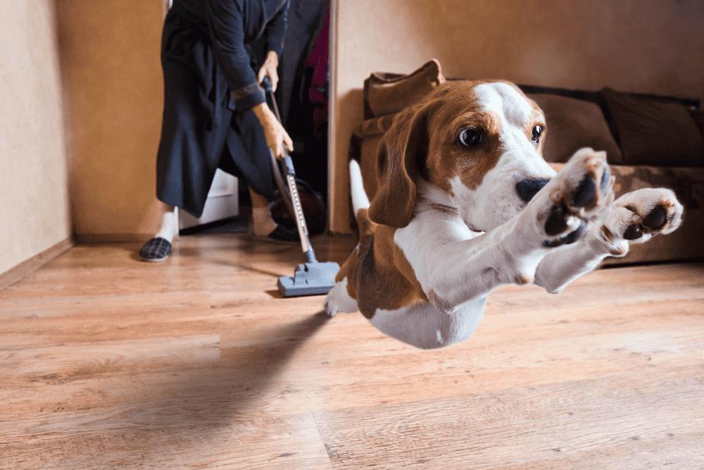 3 Beagle Training Tips - Beagle Dog Training Done Right 27