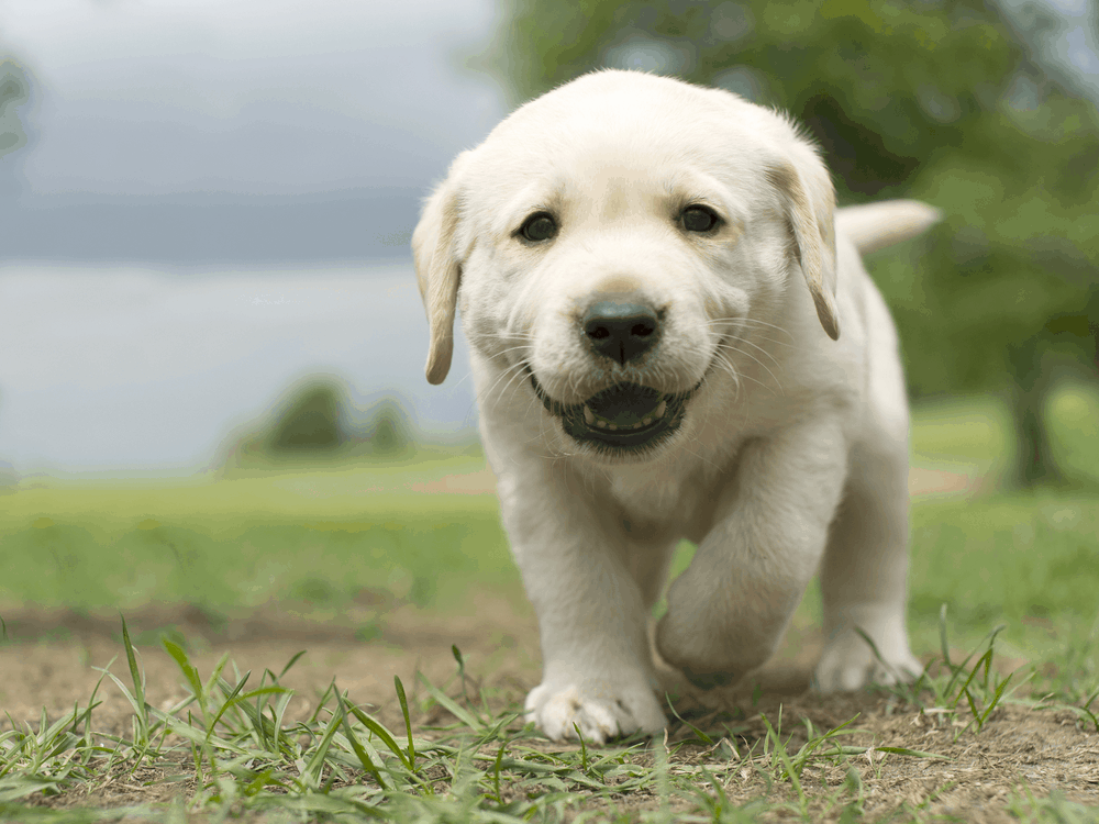Labrador Retriever Puppy Training - Here's a Great Guide -