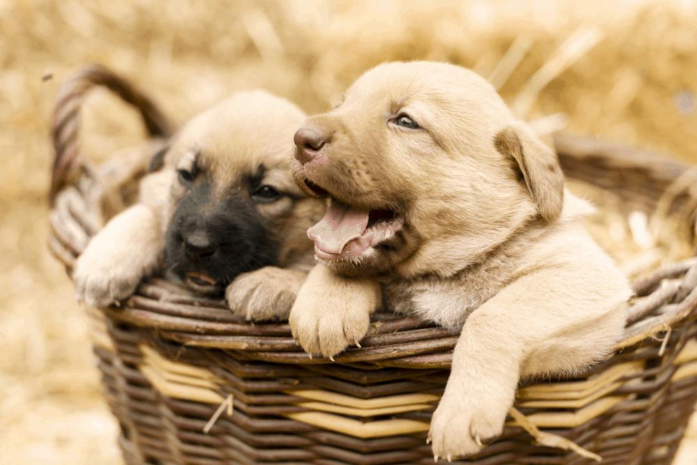 Labrador Retriever Puppy Training - Here's a Great Guide 7