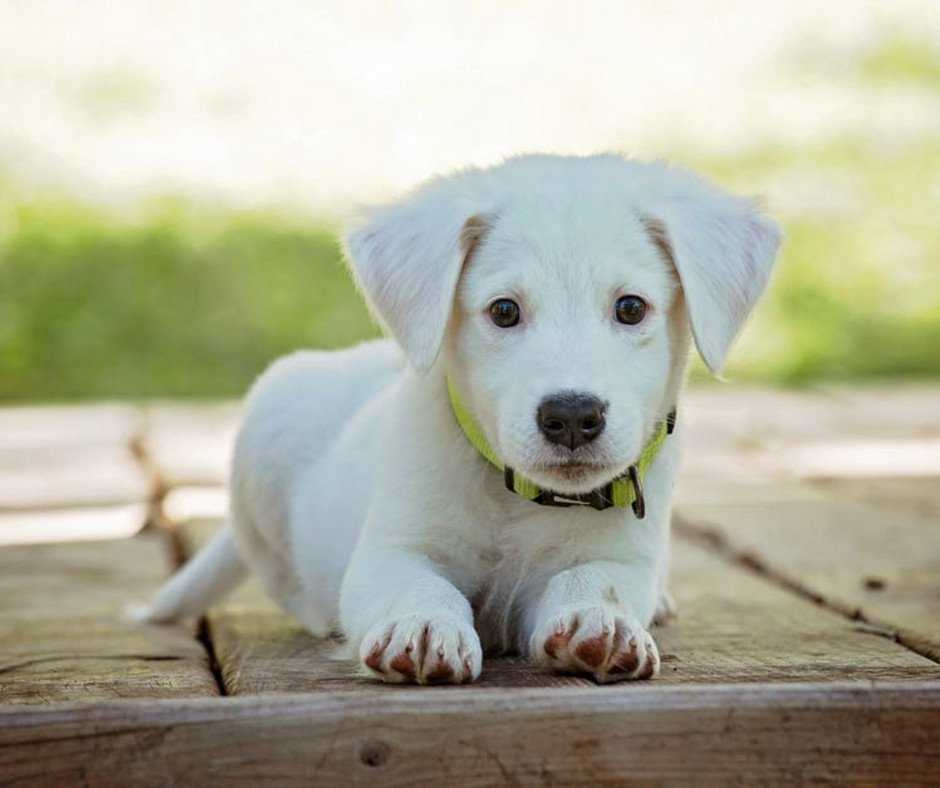 Top 5 Tips For Effective Labrador Retriever Puppy Training -