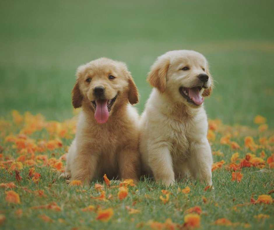 Top 5 Tips For Effective Labrador Retriever Puppy Training 1